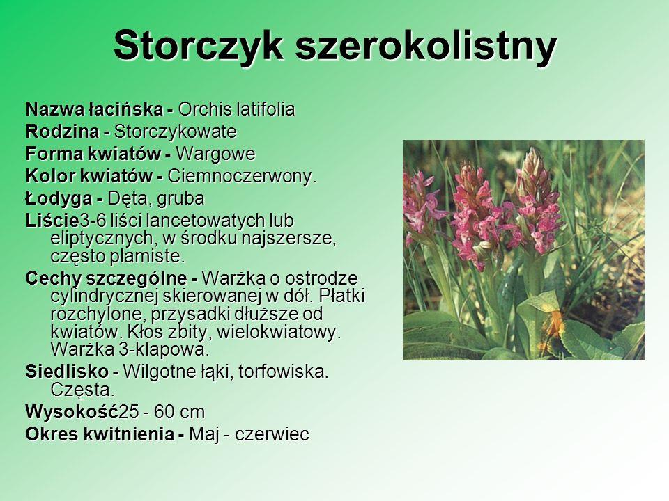 Storczyk szerokolistny Nazwa łacińska - Orchis latifolia Rodzina - Storczykowate Forma kwiatów - Wargowe Kolor kwiatów - Ciemnoczerwony. Łodyga - Dęta