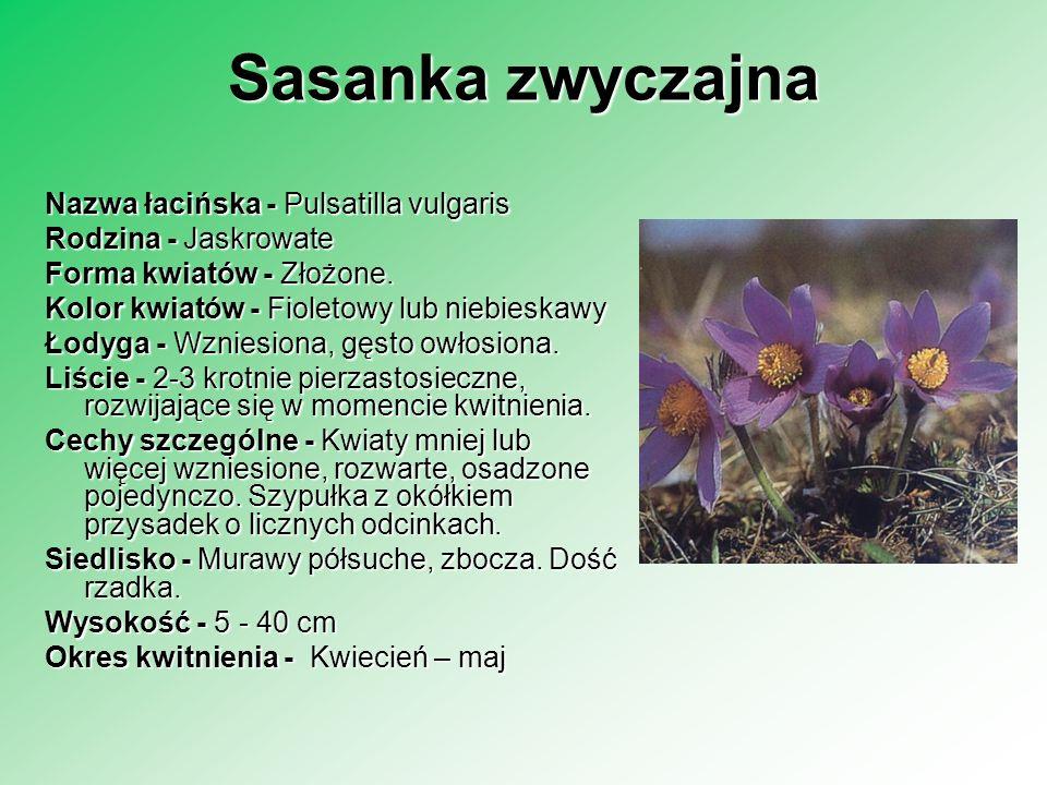 Sasanka zwyczajna Nazwa łacińska - Pulsatilla vulgaris Rodzina - Jaskrowate Forma kwiatów - Złożone. Kolor kwiatów - Fioletowy lub niebieskawy Łodyga