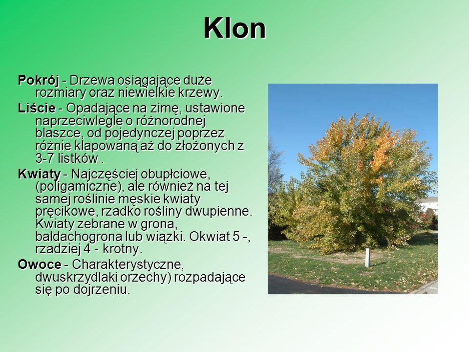 Klon Pokrój - Drzewa osiągające duże rozmiary oraz niewielkie krzewy. Liście - Opadające na zimę, ustawione naprzeciwlegle o różnorodnej blaszce, od p