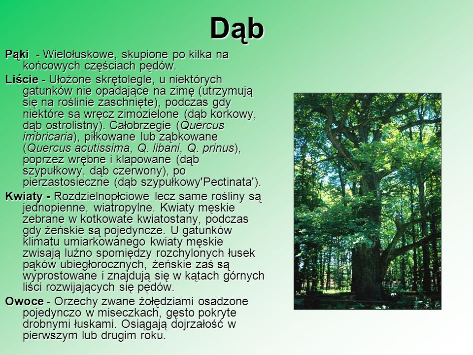 Dąb Pąki - Wielołuskowe, skupione po kilka na końcowych częściach pędów. Liście - Ułożone skrętolegle, u niektórych gatunków nie opadające na zimę (ut
