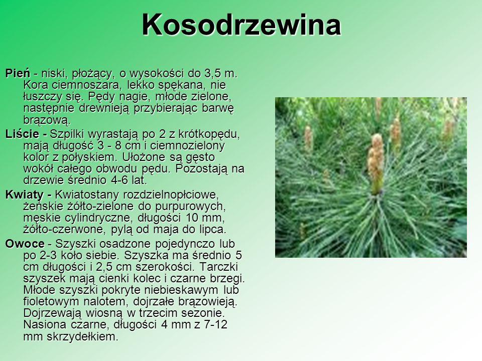 Kosodrzewina Pień - niski, płożący, o wysokości do 3,5 m. Kora ciemnoszara, lekko spękana, nie łuszczy się. Pędy nagie, młode zielone, następnie drewn