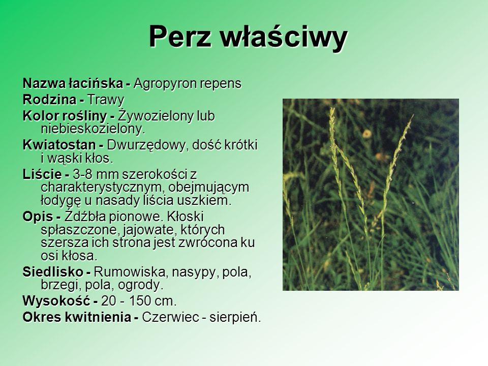 Lipa Liście - Sercowate - piłkowane lub całobrzegie.