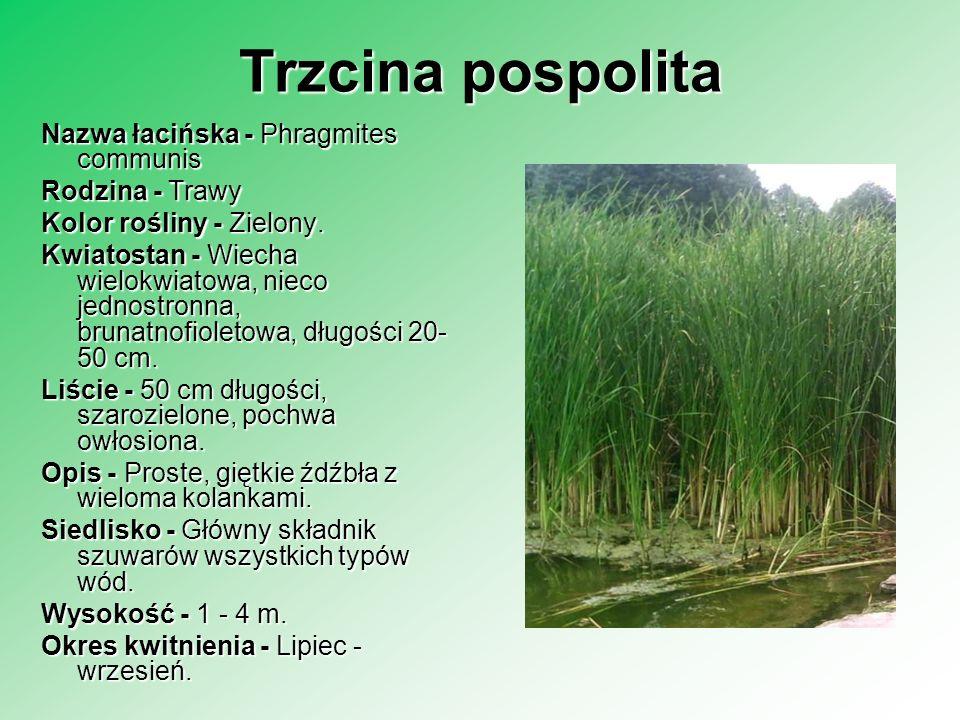 Trzcina pospolita Nazwa łacińska - Phragmites communis Rodzina - Trawy Rodzina - Trawy Kolor rośliny - Zielony. Kwiatostan - Wiecha wielokwiatowa, nie