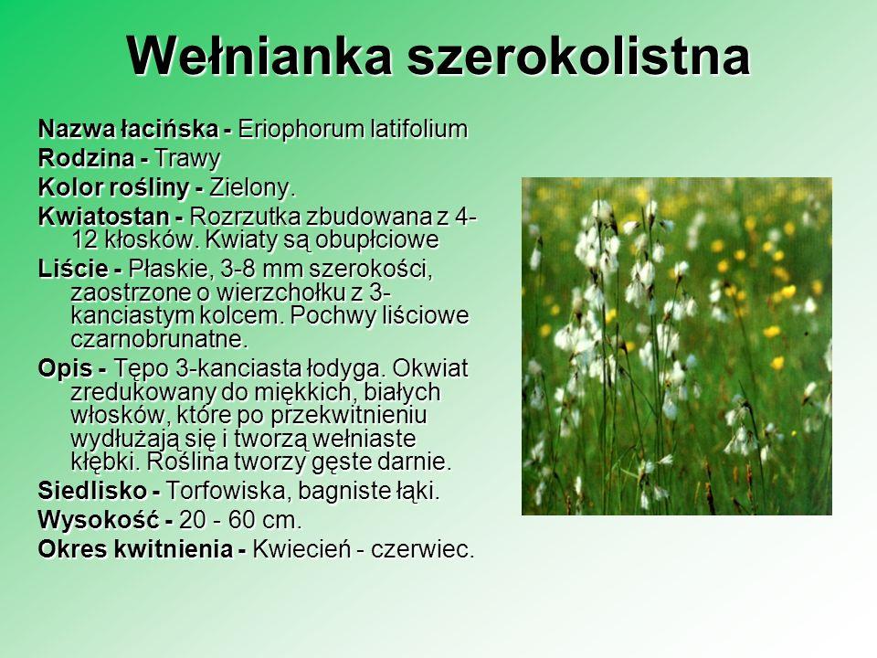 Wełnianka szerokolistna Nazwa łacińska - Eriophorum latifolium Rodzina - Trawy Rodzina - Trawy Kolor rośliny - Zielony. Kwiatostan - Rozrzutka zbudowa