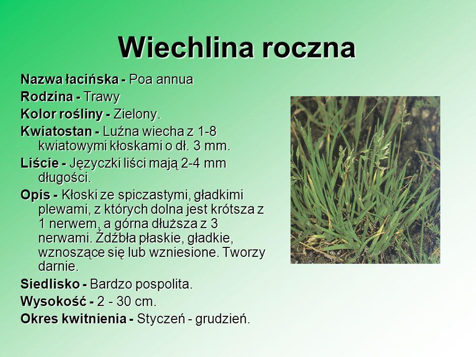 Wyczyniec łąkowy Nazwa łacińska - Alopecurus pratesis Rodzina - Trawy Rodzina - Trawy Kolor rośliny - Żywozielony Kwiatostan - Gęsty, walcowaty kwiatostan o długości do 10 cm jest kłosokształtną wiechą.