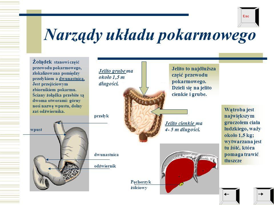 Narządy układu pokarmowego Żołądek stanowi część przewodu pokarmowego, zlokalizowana pomiędzy przełykiem a dwunastnicą. Jest przejściowym zbiornikiem