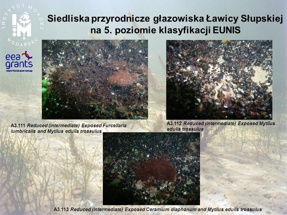 Siedliska przyrodnicze głazowiska Ławicy Słupskiej na 5. poziomie klasyfikacji EUNIS A3.112 Reduced (intermediate) Exposed Mytilus edulis trossulus A3