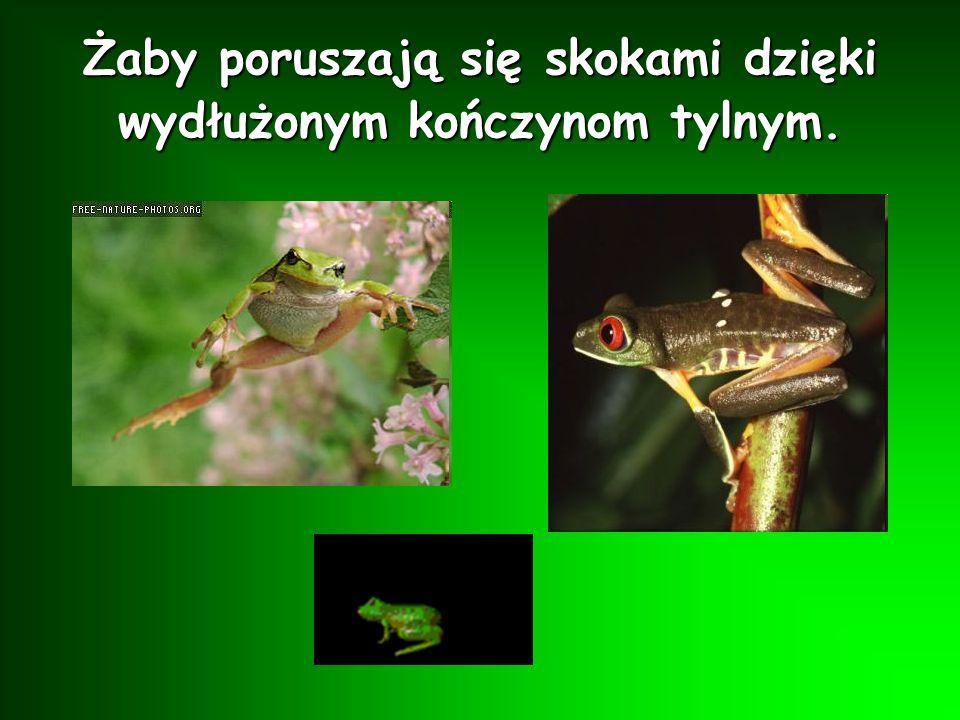 Najpierw kijance rosną tylne nóżki, a później przednie. Powoli kijanka traci ogon i przekształca się w żabę.