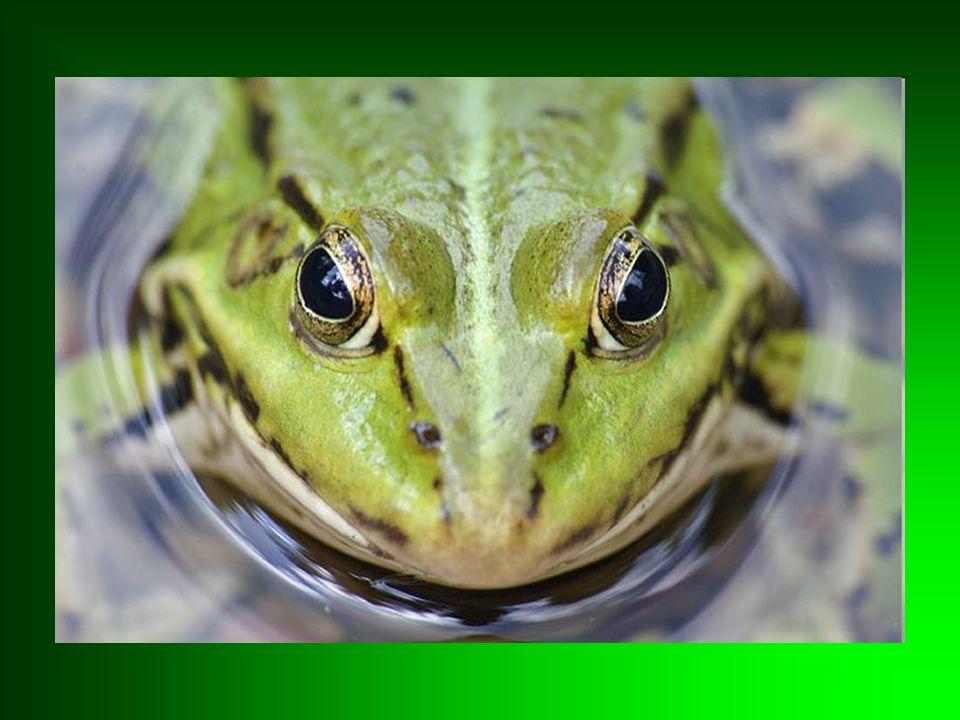 Żaby żyją na lądzie, ale nie potrafią się uniezależnić od środowiska wodnego.