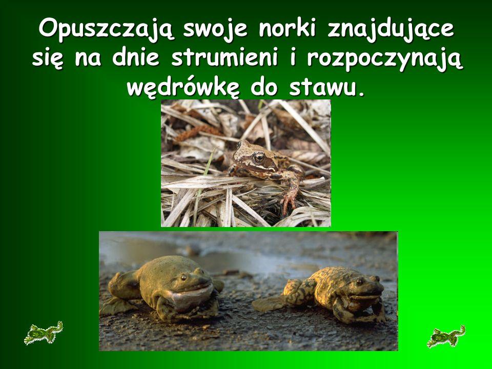 Żaby budzą się z zimowego snu na początku marca.