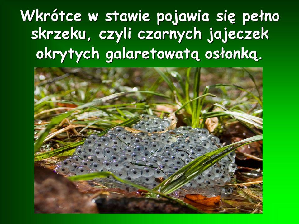 Tu odbywają się żabie zaloty czyli gody. Samice wydają głośne dźwięki, aby zwabić samice.