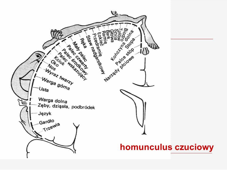 homunculus czuciowy