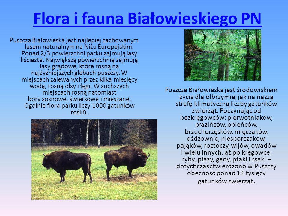 Flora i fauna Białowieskiego PN Puszcza Białowieska jest najlepiej zachowanym lasem naturalnym na Niżu Europejskim. Ponad 2/3 powierzchni parku zajmuj