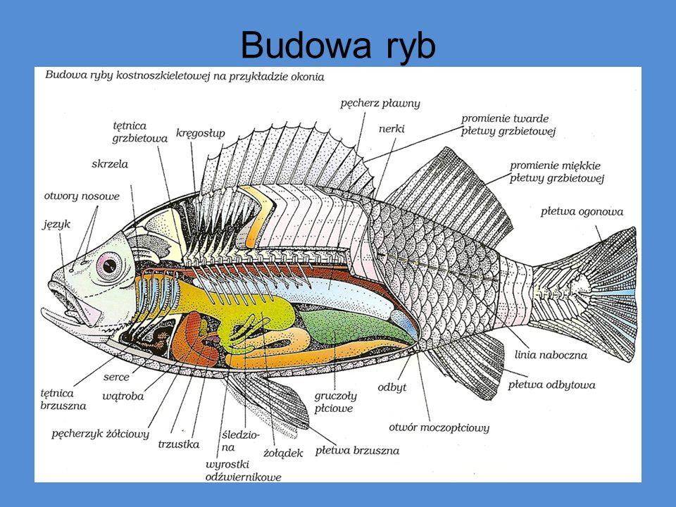 Skład chemiczny ryb Ilość i jakość składników chemicznych ciała ryby nie jest stała.