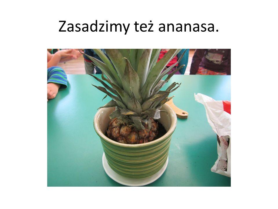Zasadzimy też ananasa.