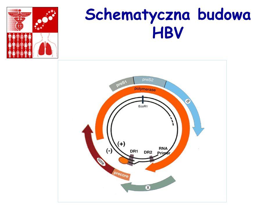 Koncentracja HBV w różnych płynach w ustrojowych Duża: krew osocze, sączące rany Średnia: nasienie, wydzielina pochowa, sączące rany Mała: mocz, kał, łzy, pot, pokarm