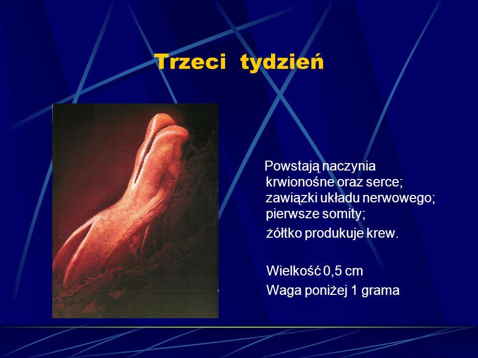 Trzeci tydzień Powstają naczynia krwionośne oraz serce; zawiązki układu nerwowego; pierwsze somity; żółtko produkuje krew. Wielkość 0,5 cm Waga poniże