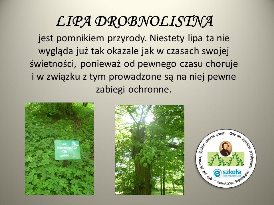 SOSNA SMOŁOWA Sosna ta nie należy do wiekowych drzew tego parku, stąd rozmiary tego drzewa nie są imponujące.