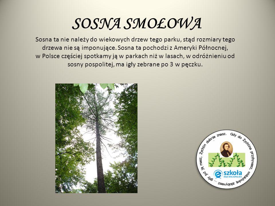 SOSNA SMOŁOWA Sosna ta nie należy do wiekowych drzew tego parku, stąd rozmiary tego drzewa nie są imponujące. Sosna ta pochodzi z Ameryki Północnej, w