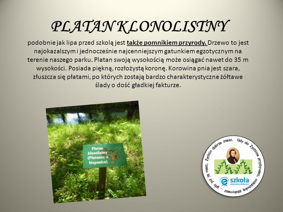 PLATAN KLONOLISTNY podobnie jak lipa przed szkolą jest także pomnikiem przyrody. Drzewo to jest najokazalszym i jednocześnie najcenniejszym gatunkiem