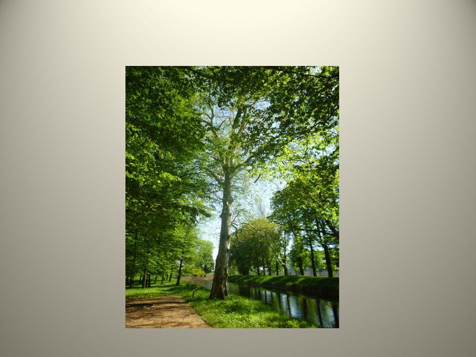 MODRZEW EUROPEJSKI Gdyby nie duża ilość szyszek leżących na ziemi to nikt nie pomyślałby, że w tym miejscu rośnie bardzo wysokie drzewo iglaste, którego konary przerastają wszystkie drzewa liściaste rosnące obok.