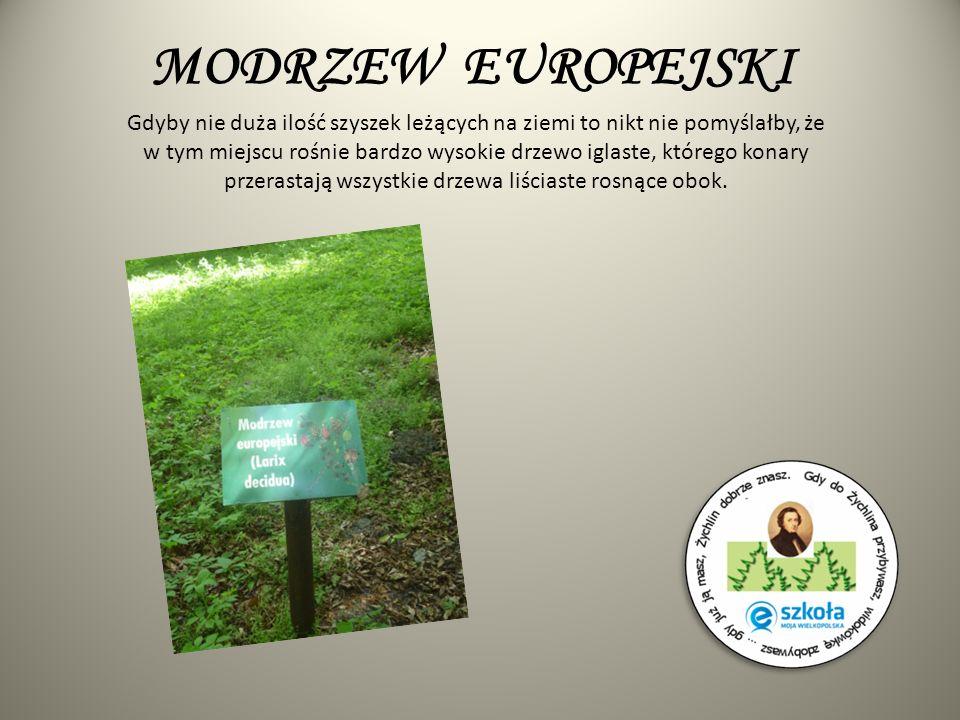 MODRZEW EUROPEJSKI Gdyby nie duża ilość szyszek leżących na ziemi to nikt nie pomyślałby, że w tym miejscu rośnie bardzo wysokie drzewo iglaste, które