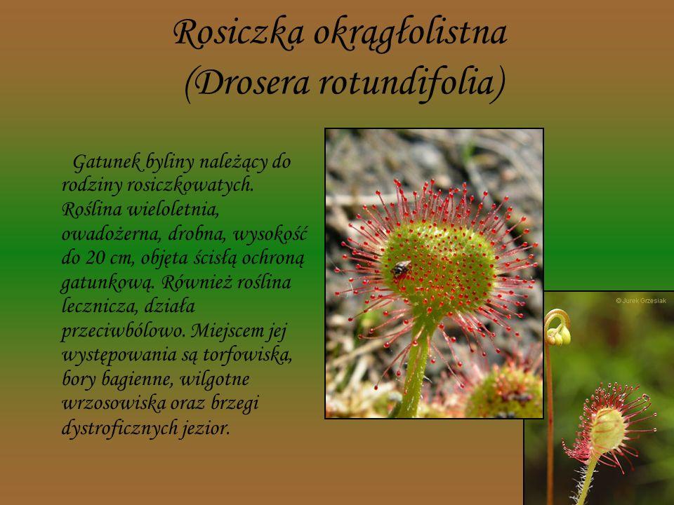 Cis pospolity (Taxus baccata) Gatunek wiecznie zielonego drzewa szpilkowego lub krzewu z rodziny cisowatych, jest objęty ścisła ochroną (kategoria zag