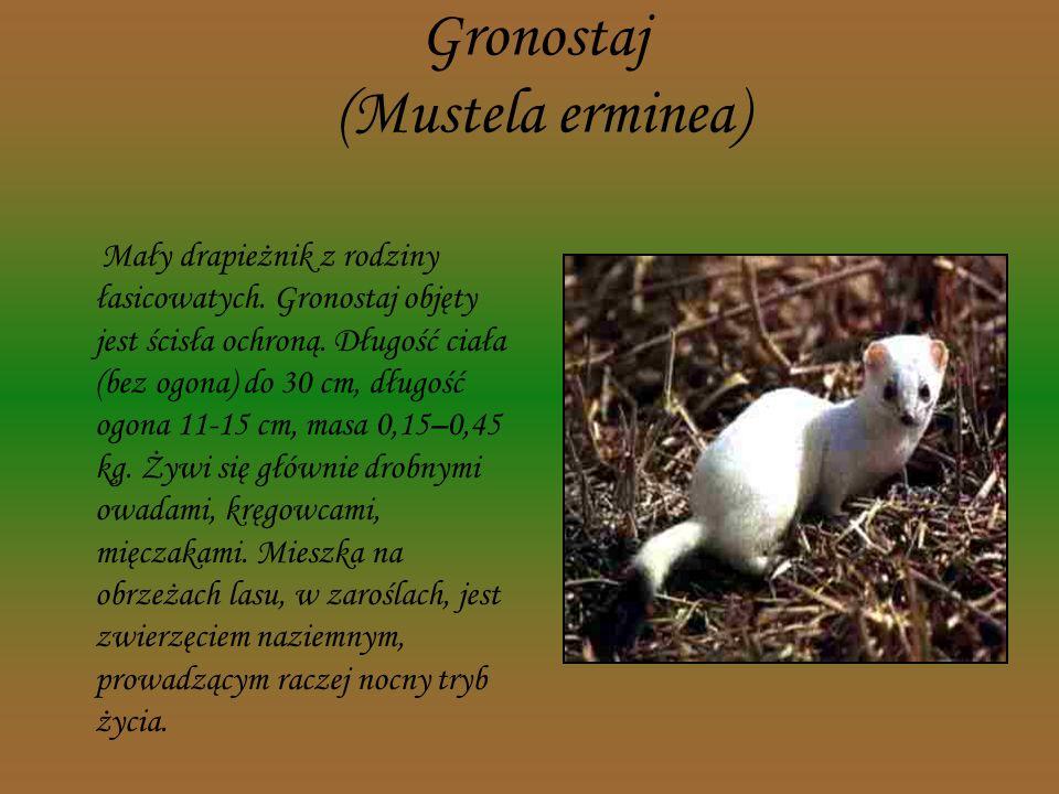 Orzesznica (Muscardinus avellanarius) Niewielki, rudy gryzoń z rodziny popielicowatych, mieszkający w lasach. W Polsce podlega ścisłej ochronie. Żywi