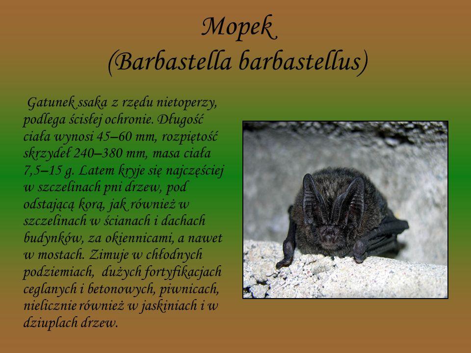Łasica (Mustela nivalis) Niewielki drapieżnik z rodziny łasicowatych, objęty ścisłą ochroną. Długość ciała łasicy wynosi do 28 cm, ogon stosunkowo kró