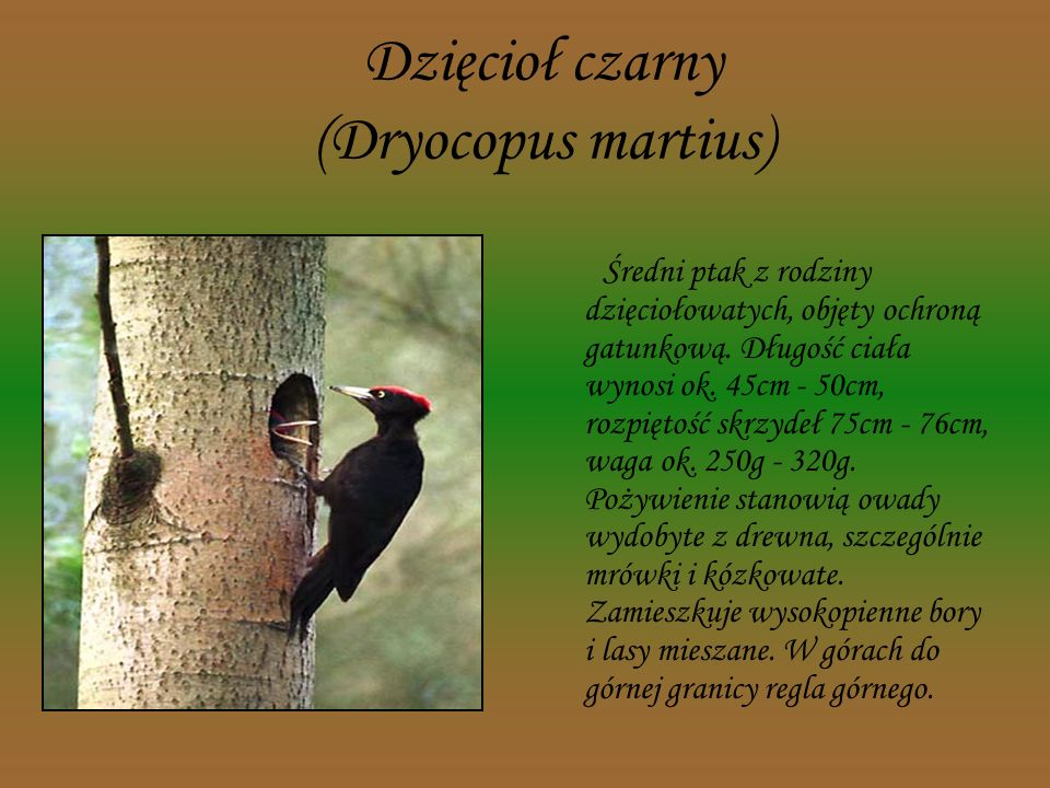 Bóbr europejski (Castor fiber) Ziemnowodny ssak z rzędu gryzoni. W Polsce jest gatunkiem chronionym. Długość ciała dorosłych osobników wynosi 70- 100