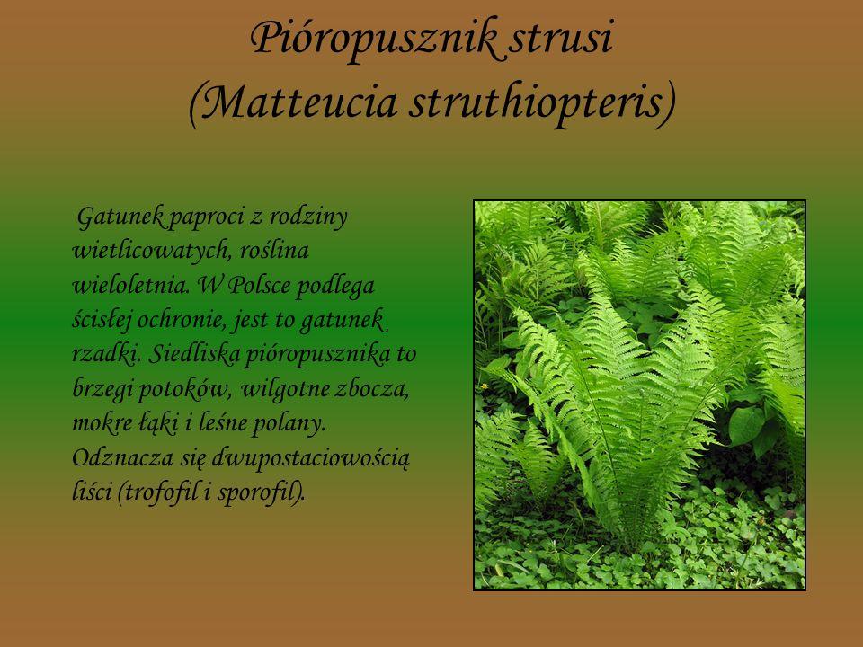 Wawrzynek wilczełyko (Daphne mezereum) Gatunek krzewu należący do rodziny wawrzynkowatych. W Polsce występuje na całym terytorium, ale jest rośliną rz