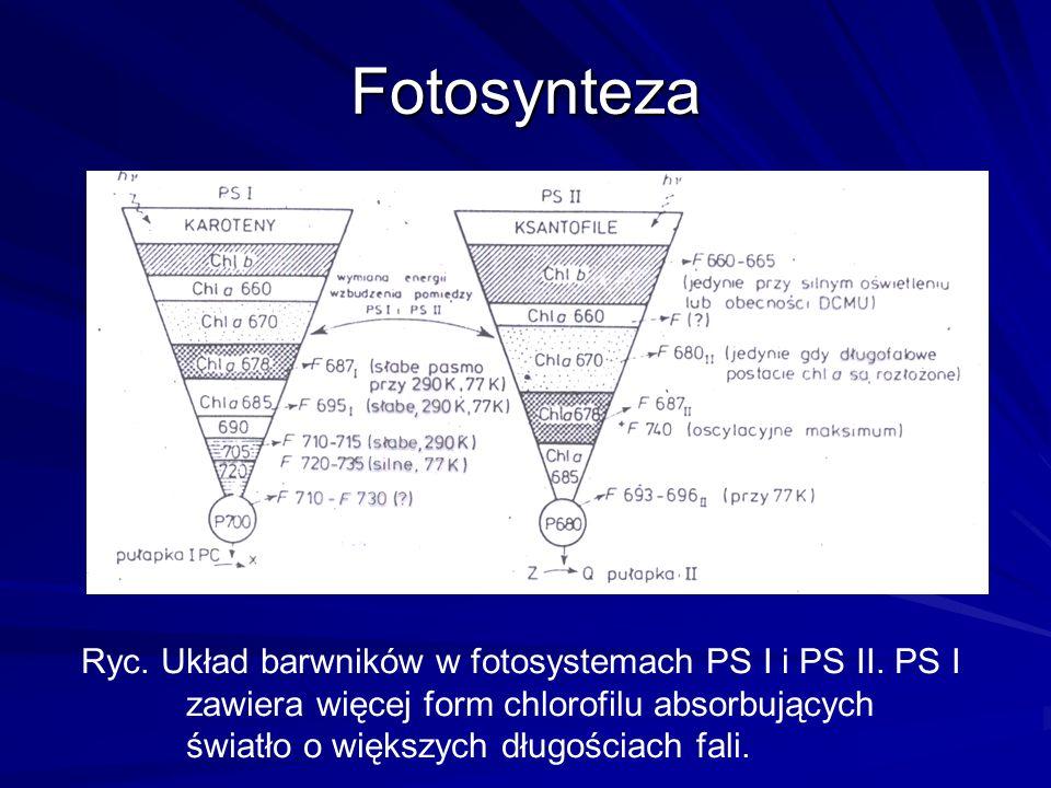 Fotosynteza Ryc. Układ barwników w fotosystemach PS I i PS II. PS I zawiera więcej form chlorofilu absorbujących światło o większych długościach fali.