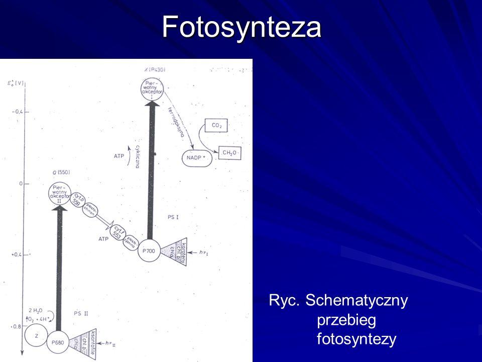 Fotosynteza Ryc. Schematyczny przebieg fotosyntezy