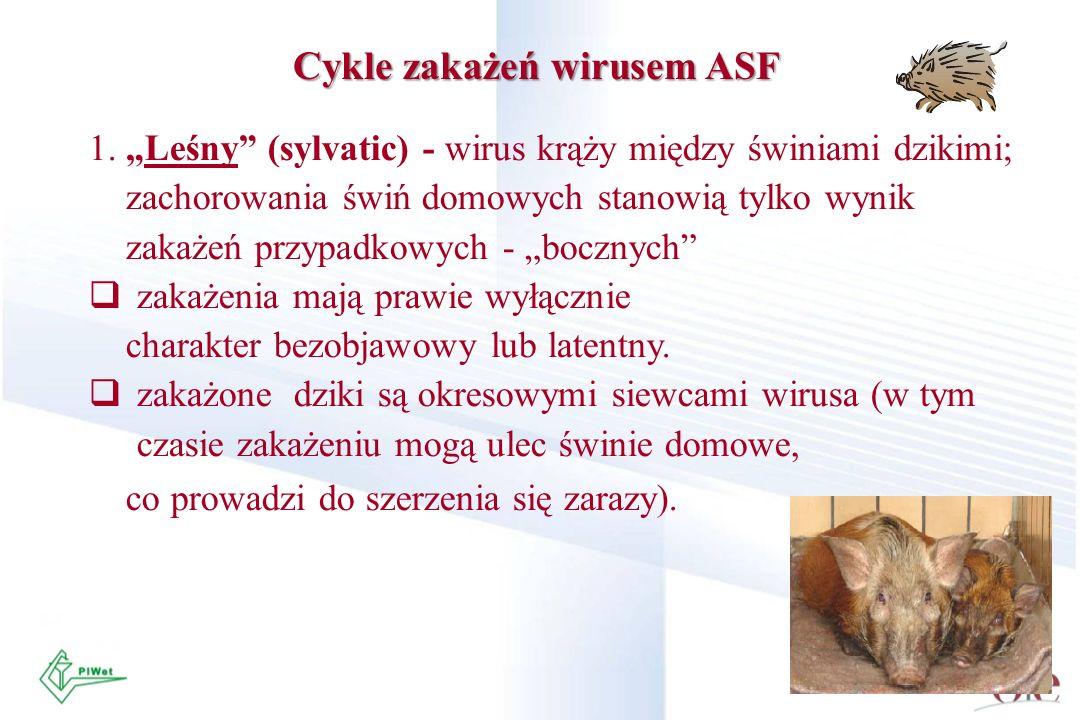Cykle zakażeń wirusem ASF 1. Leśny (sylvatic) - wirus krąży między świniami dzikimi; zachorowania świń domowych stanowią tylko wynik zakażeń przypadko