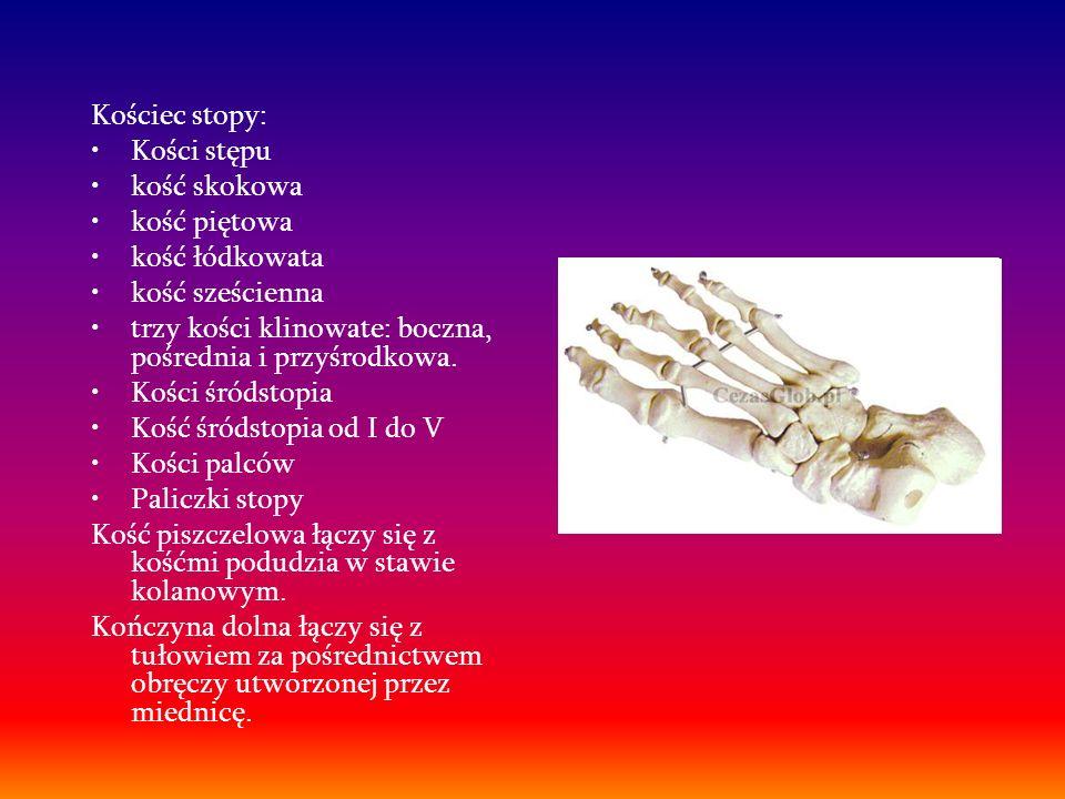 Kościec stopy: Kości stępu kość skokowa kość piętowa kość łódkowata kość sześcienna trzy kości klinowate: boczna, pośrednia i przyśrodkowa. Kości śród