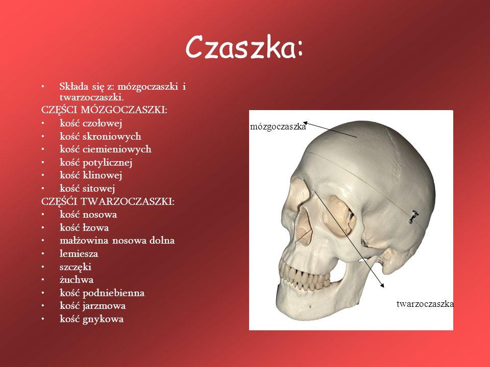 Czaszka: Składa się z: mózgoczaszki i twarzoczaszki. CZĘŚCI MÓZGOCZASZKI: kość czołowej kość skroniowych kość ciemieniowych kość potylicznej kość klin