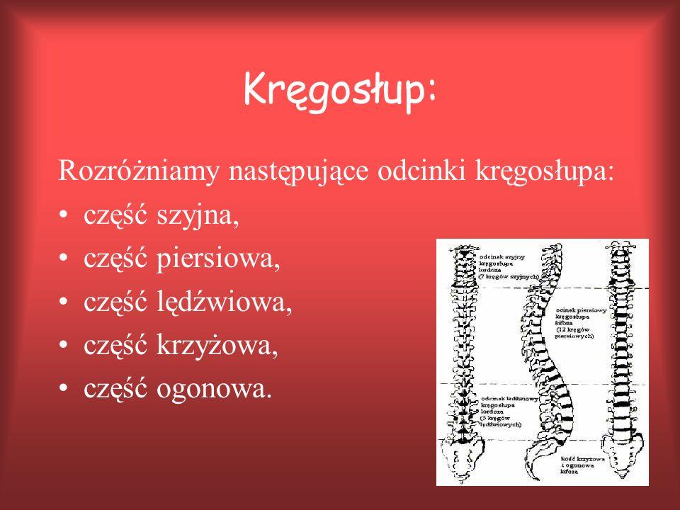 Kręgosłup: Rozróżniamy następujące odcinki kręgosłupa: część szyjna, część piersiowa, część lędźwiowa, część krzyżowa, część ogonowa.