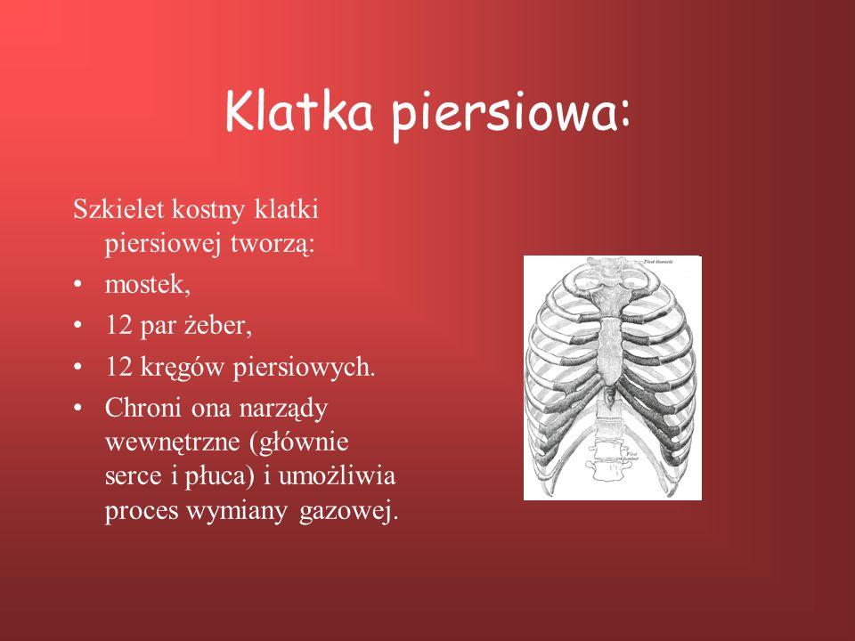 Klatka piersiowa: Szkielet kostny klatki piersiowej tworzą: mostek, 12 par żeber, 12 kręgów piersiowych. Chroni ona narządy wewnętrzne (głównie serce