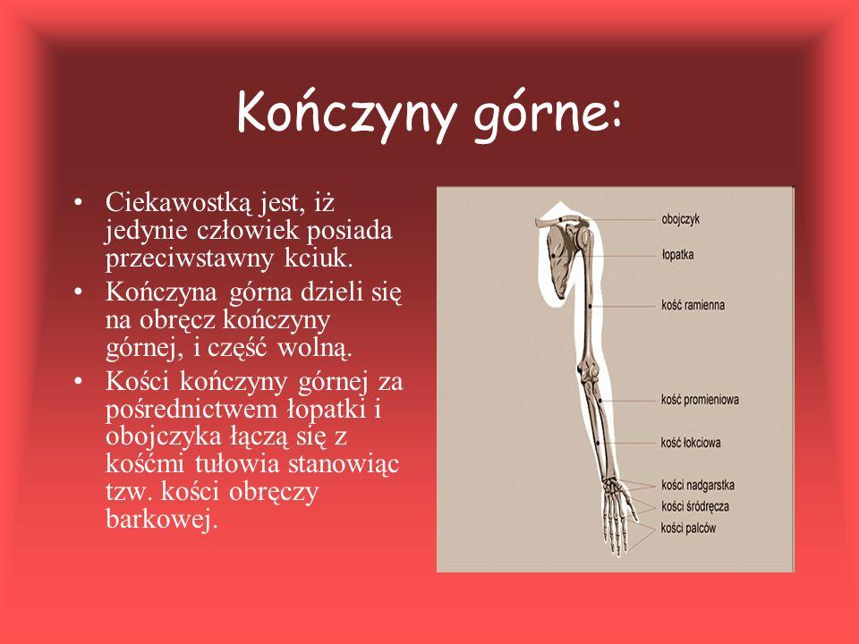 Kończyny górne: Ciekawostką jest, iż jedynie człowiek posiada przeciwstawny kciuk. Kończyna górna dzieli się na obręcz kończyny górnej, i część wolną.
