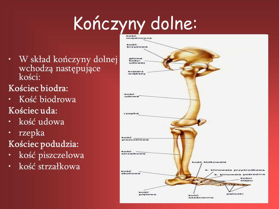 Kończyny dolne: W skład kończyny dolnej wchodzą następujące kości: Kościec biodra: Kość biodrowa Kościec uda: kość udowa rzepka Kościec podudzia: kość