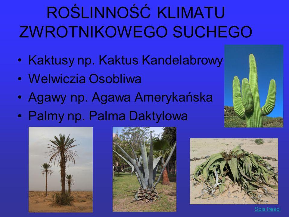 ROŚLINNOŚĆ KLIMATU ZWROTNIKOWEGO SUCHEGO Kaktusy np. Kaktus Kandelabrowy Welwiczia Osobliwa Agawy np. Agawa Amerykańska Palmy np. Palma Daktylowa Spis