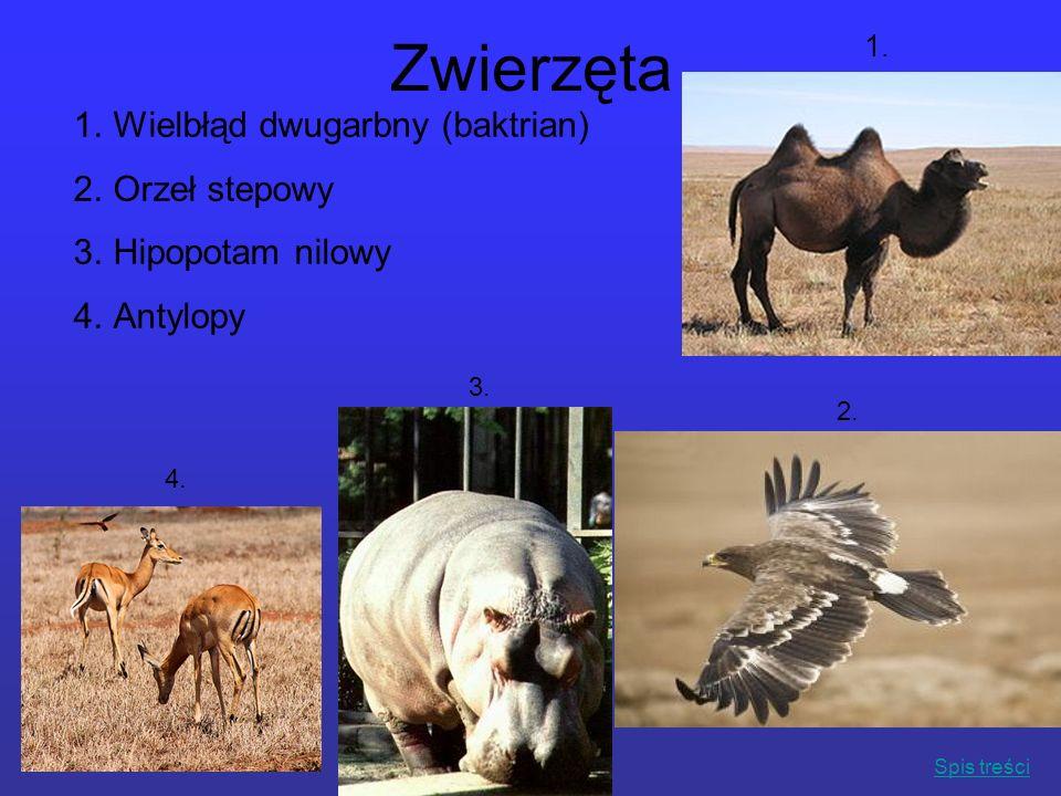 Zwierzęta 1. 1.Wielbłąd dwugarbny (baktrian) 2.Orzeł stepowy 3.Hipopotam nilowy 4.Antylopy 2. 3. 4. Spis treści