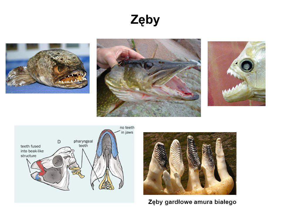 Zęby Zęby gardłowe amura białego