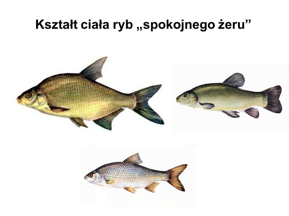 Kształt ciała ryb spokojnego żeru