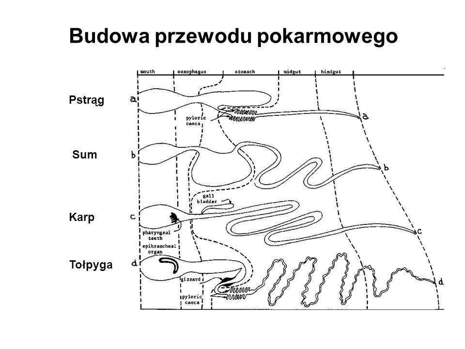 Budowa przewodu pokarmowego Pstrąg Sum Karp Tołpyga