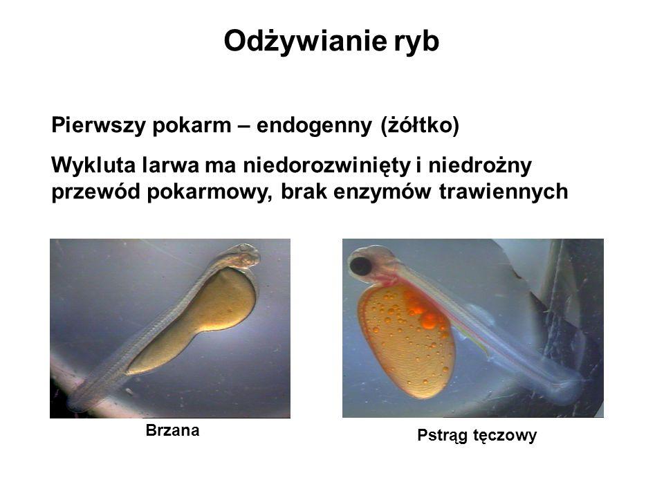 Odżywianie ryb Pierwszy pokarm – endogenny (żółtko) Wykluta larwa ma niedorozwinięty i niedrożny przewód pokarmowy, brak enzymów trawiennych Pstrąg tę