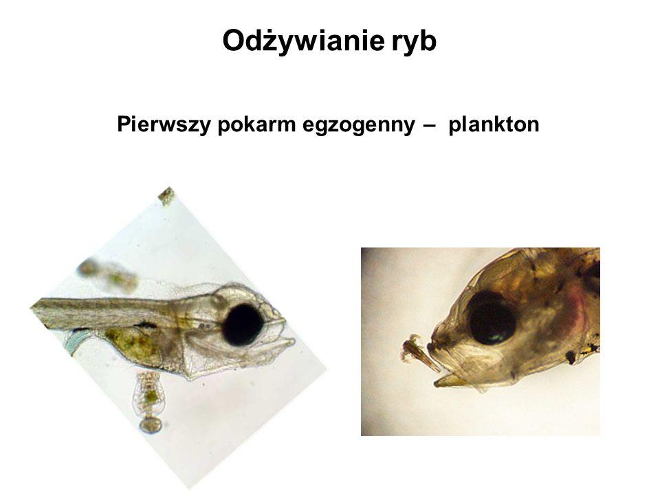Odżywianie ryb Pierwszy pokarm egzogenny – plankton
