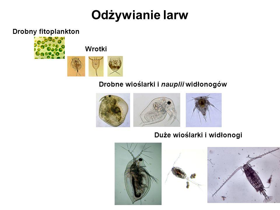 Odżywianie larw Wrotki Duże wioślarki i widłonogi Drobne wioślarki i nauplii widłonogów Drobny fitoplankton