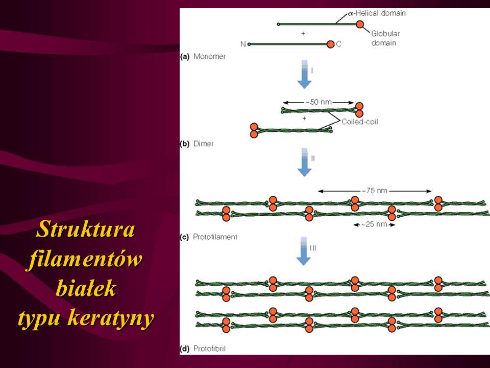 Struktura filamentów białek typu keratyny