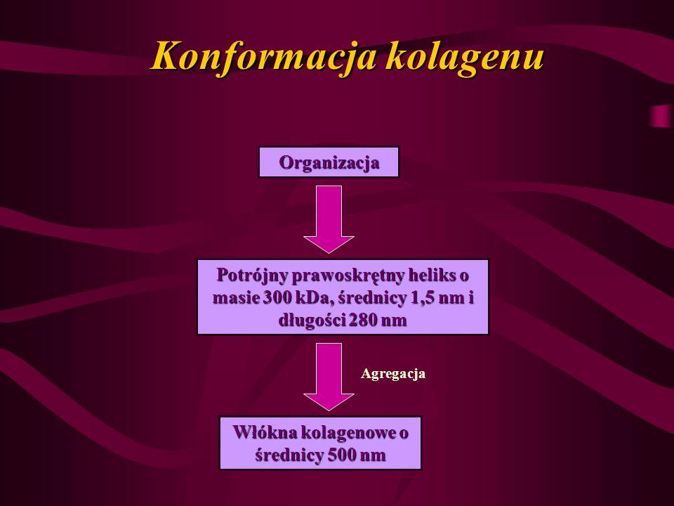 Konformacja kolagenu Organizacja Potrójny prawoskrętny heliks o masie 300 kDa, średnicy 1,5 nm i długości 280 nm Włókna kolagenowe o średnicy 500 nm A